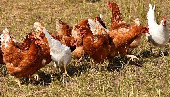 hens-3524423__340